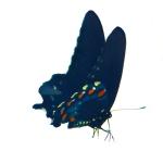 butterfly crop 2