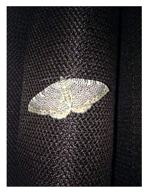moth mca 2015