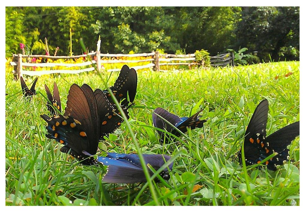 spice butterflies mca 2015